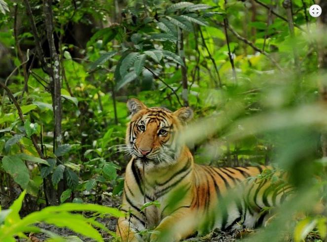 Bengal Tiger at Chitwan National Park